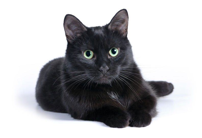 Black cat lying on a white background looking at camera