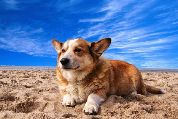pembroke-welsh-corgi-lying-on-the-sand-under-white-cloud-blue-sky