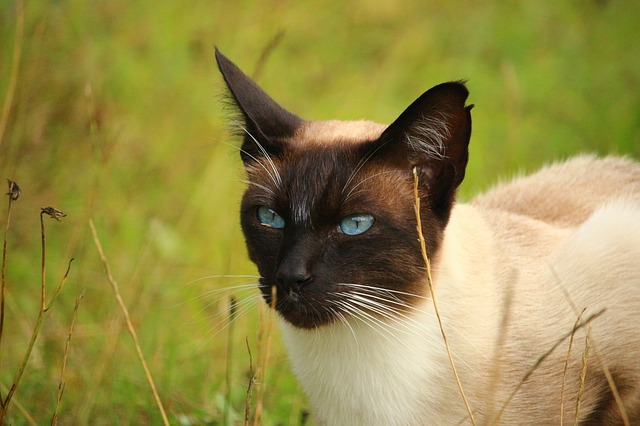 cat-mieze-siamese-cat-siamese