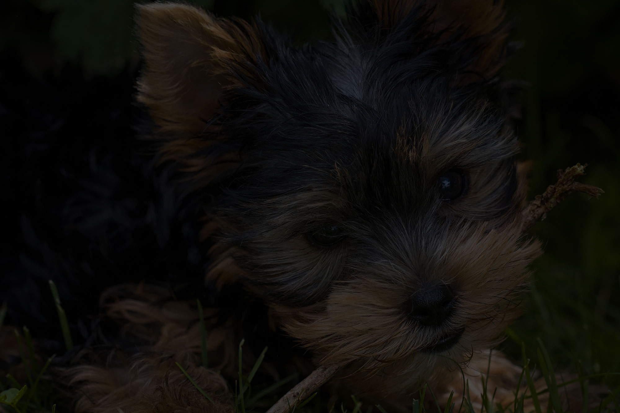 morkie puppy playing with wooden stick