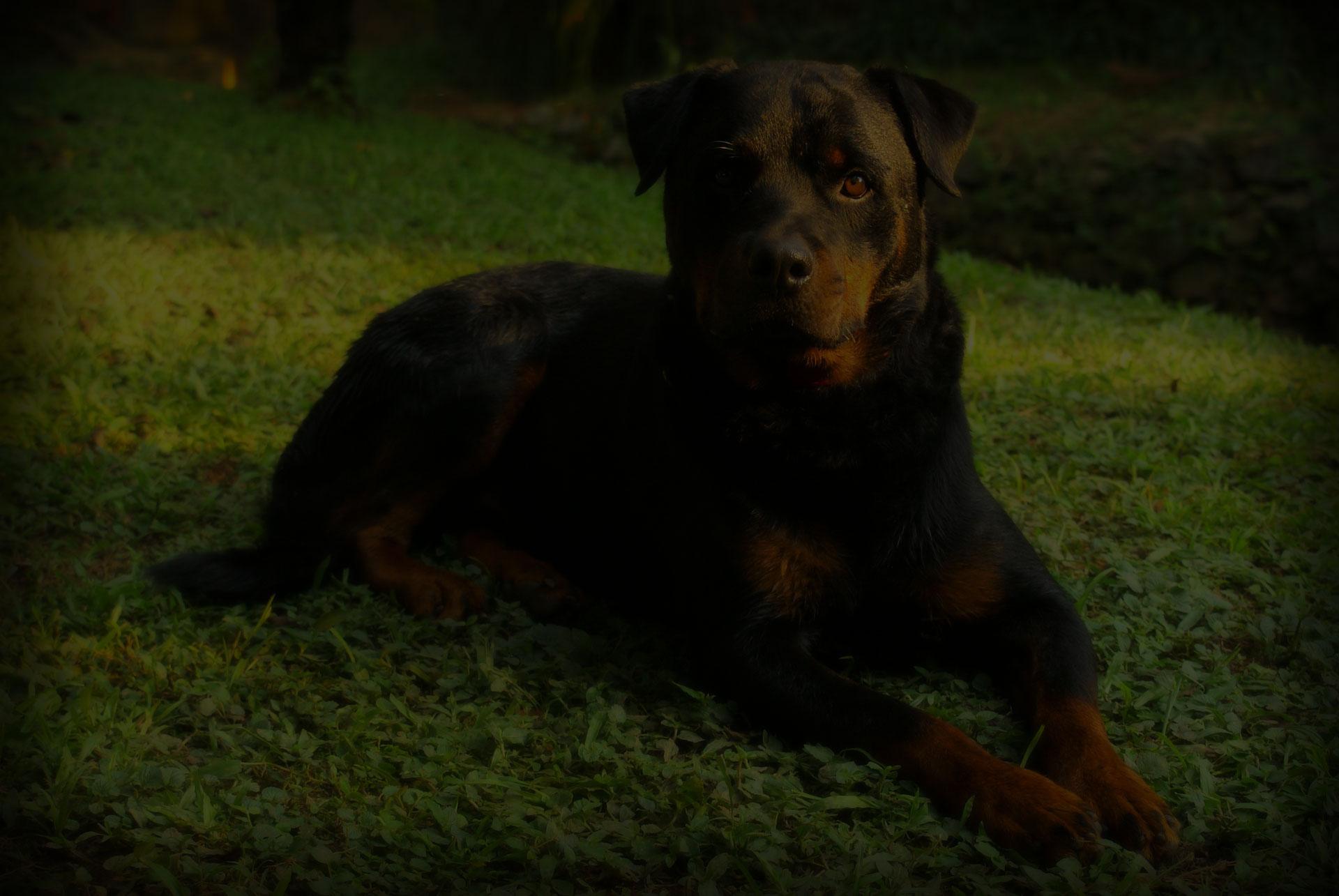 rottweiler-dog-nature