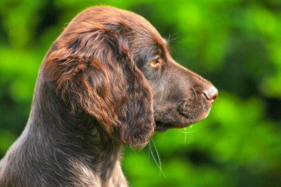 dog-small-münsterländer-puppy