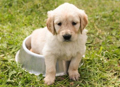labrador puppy sitted on bowl