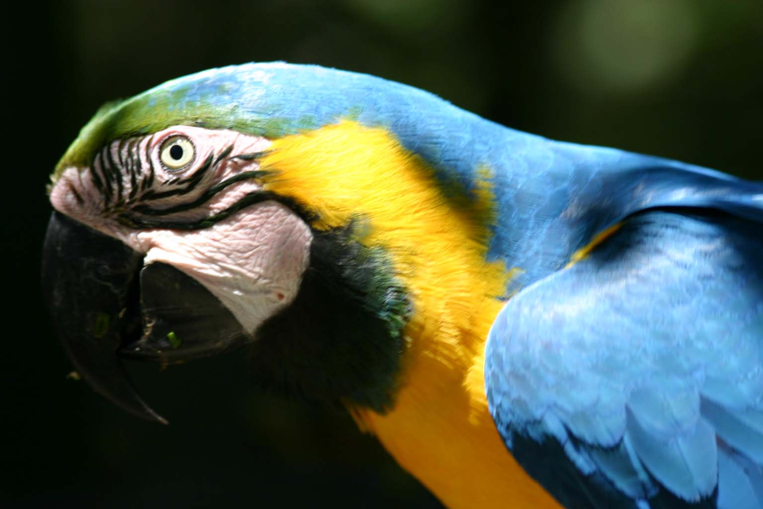 Close up of a Blue and Gold Macaw parrot