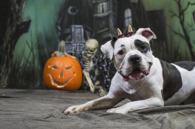 Halloween Dog wearing horns in front of skeleton and jack-o-lantern pumpkin