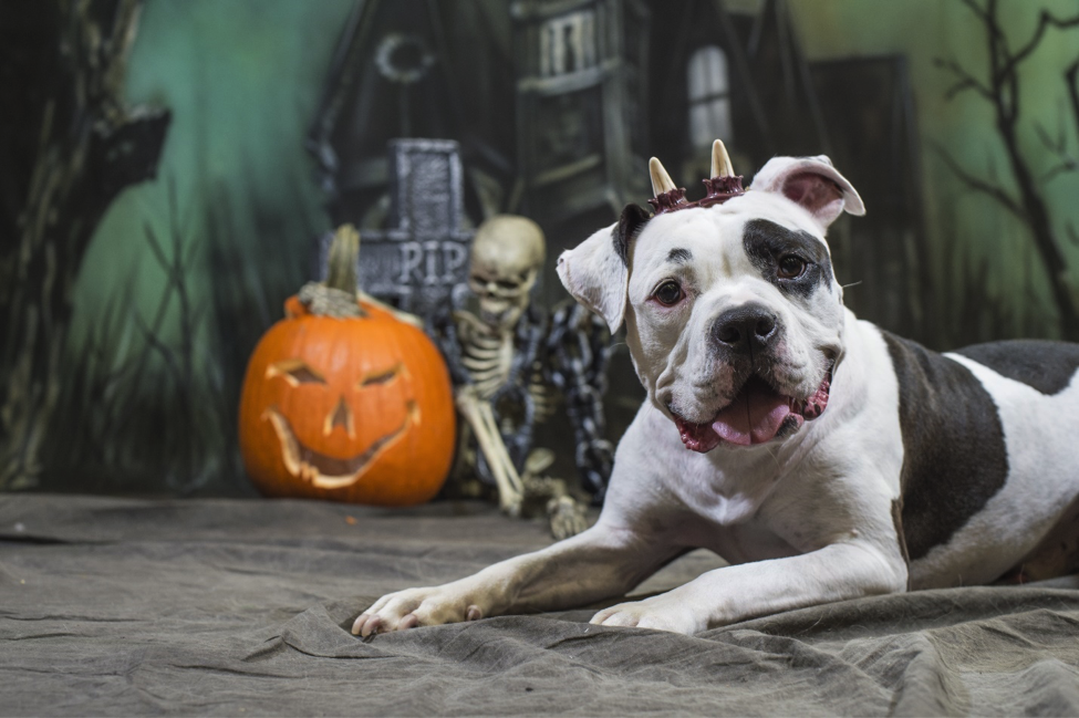 Halloween Dog wearing horns in front of skeleton and jack-o-lantern pumpkin